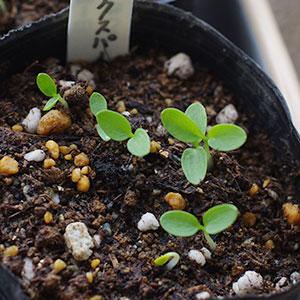 ラークスパーの芽