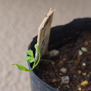 パセリ?の芽