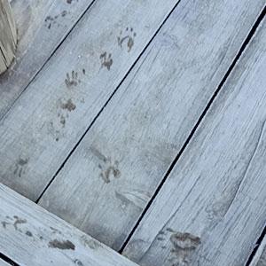哺乳類の足跡