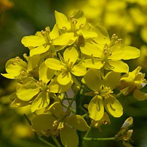 利根川サイクリングロードの菜の花