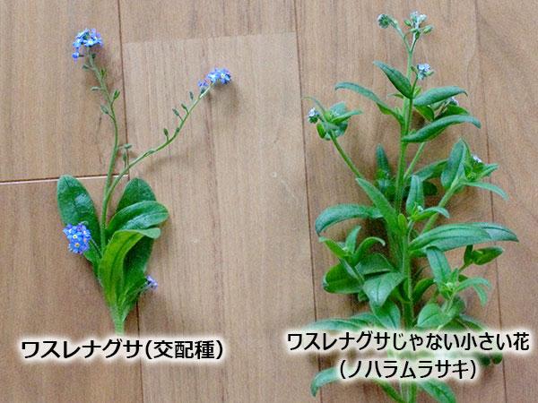 ワスレナグサ(交配種)とワスレナグサじゃない小さい花 ノハラムラサキ