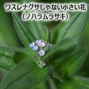 ワスレナグサじゃない小さい花 ノハラムラサキ