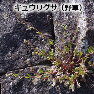 キュウリグサ(野草)