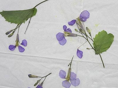ムラサキハナナの押し花