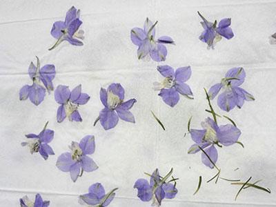 ラークスパーの押し花