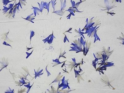 ヤグルマギクの押し花