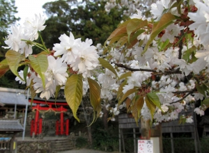 himesakura1