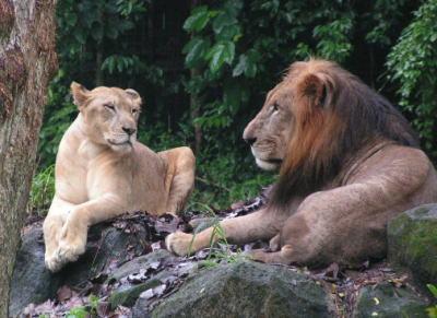 シンガポール動物園のライオン