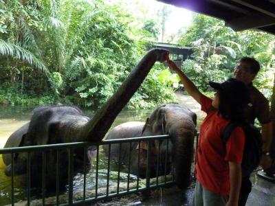 シンガポール動物園象への餌付け