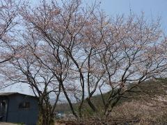 お花見18桜