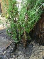 ローズマリーの木