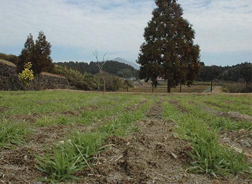 麦の茎が増えてきました