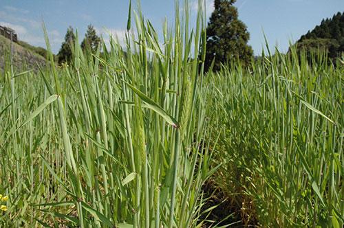 麦の株、ぐんぐん伸びました