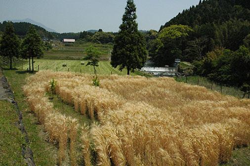 色づいた麦1