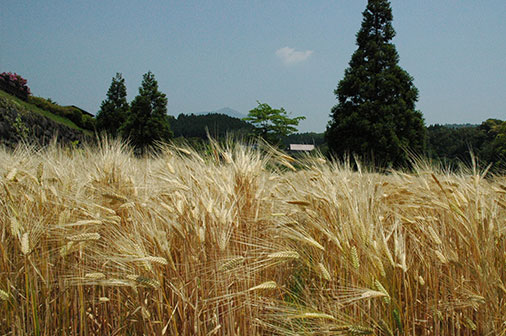 色づいた麦2