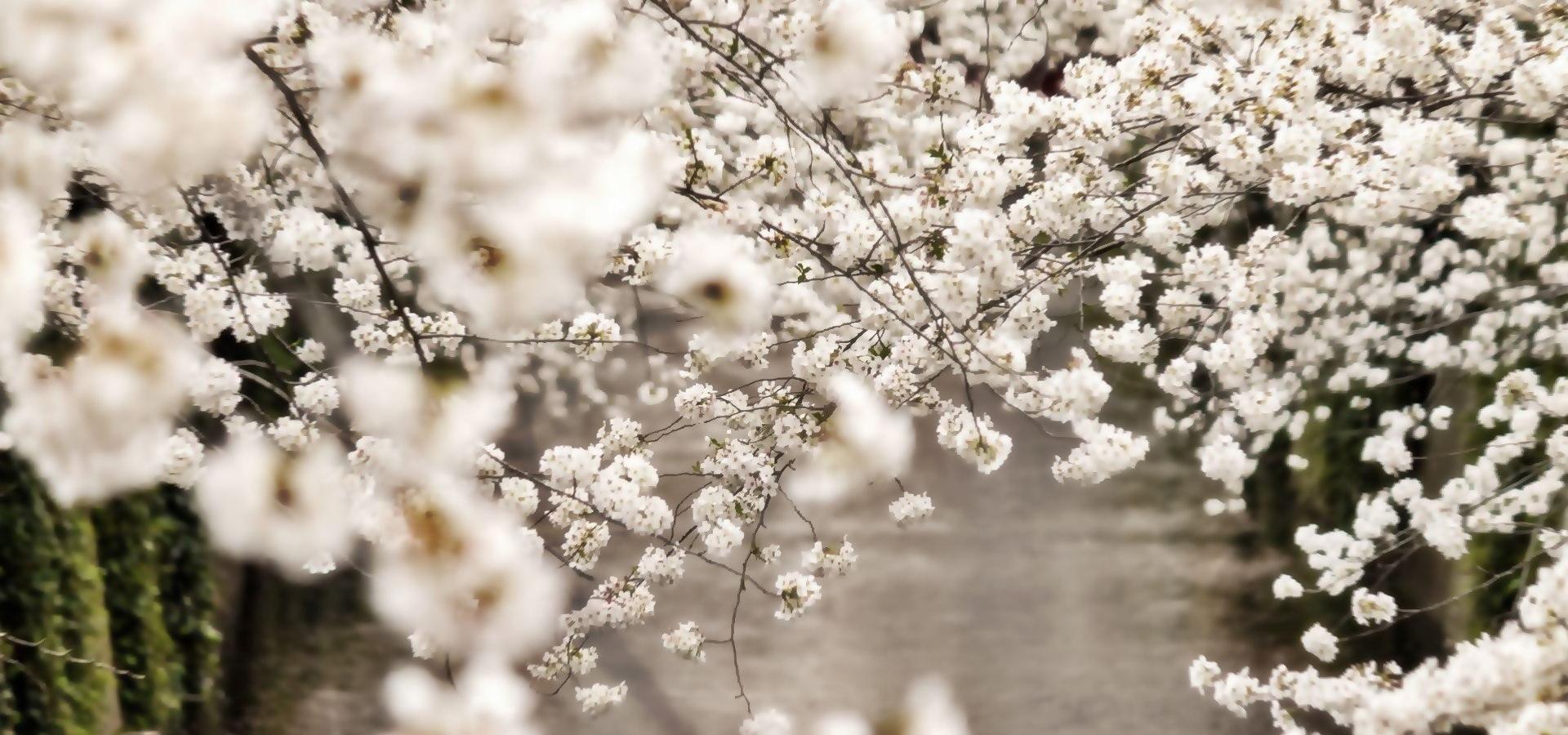 sakura-blossom