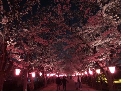 夜桜、満開