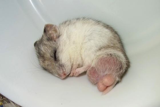 chinese dwarf hamster 138111
