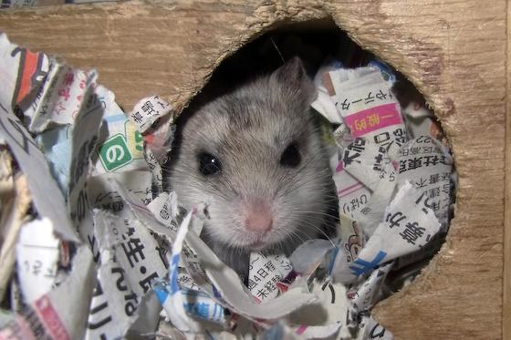 chinese dwarf hamster 138112