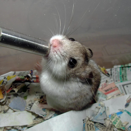 chinese dwarf hamster 138251