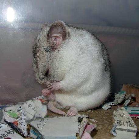 chinese dwarf hamster 13911