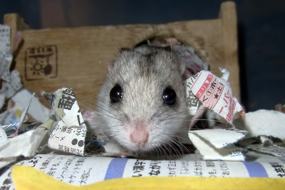 chinese dwarf hamster 139081
