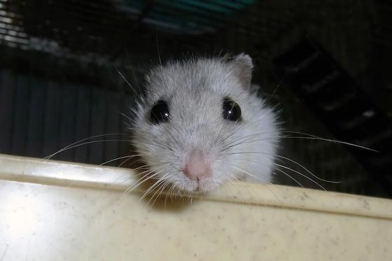 chinese dwarf hamster 131061