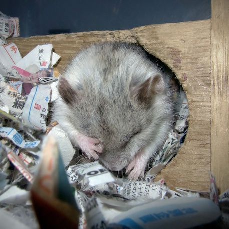 chinese dwarf hamster 1310201