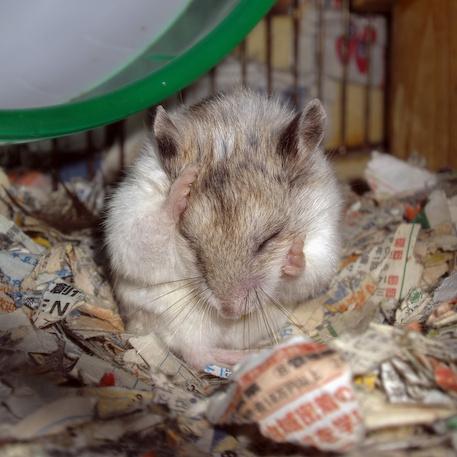 chinese dwarf hamster 131131