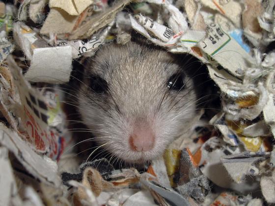 chinese dwarf hamster 1311101