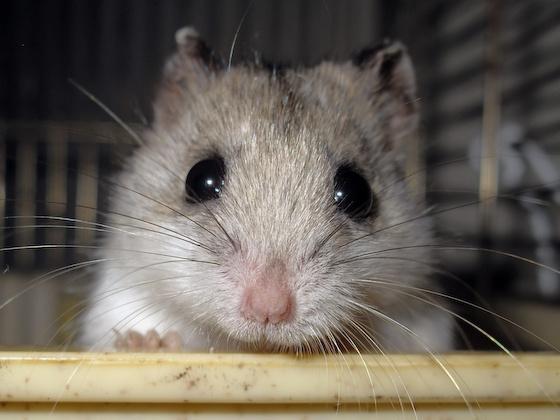 chinese dwarf hamster 1311241