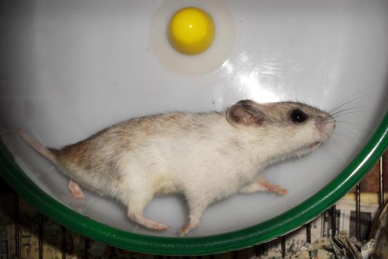 chinese dwarf hamster 311211
