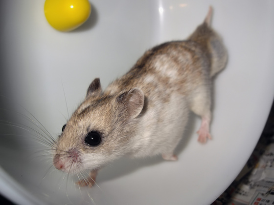 chinese dwarf hamster 1312151