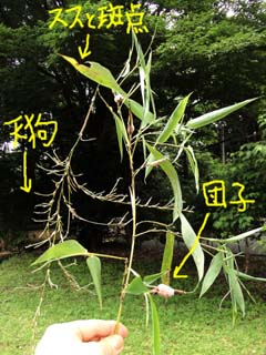 akadango-tengusu2.jpg