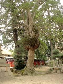 kobu-soyogo-1.JPG