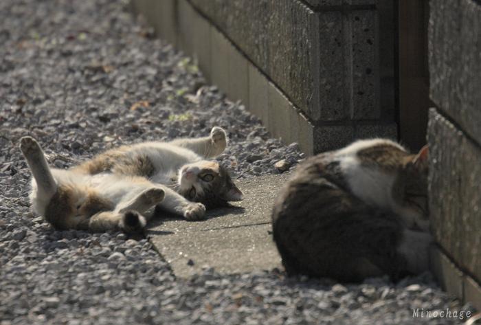 谷中の猫兄弟