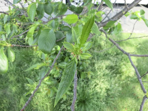 その後の桜