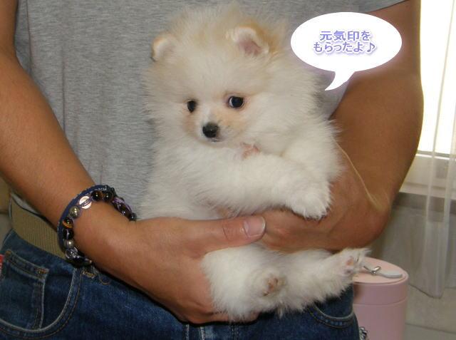 そろそろ旅立ち☆白いポメラニアンの子犬
