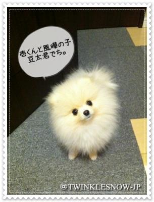 pomeranian ポメラニアン TWINKLESNOW犬舎 可愛い 子犬