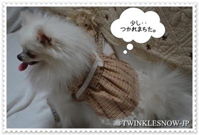ポメラニアン 子犬 TWINKLESNOW犬舎