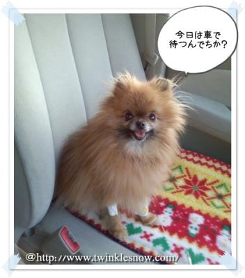 ポメラニアン pomeranian 子犬