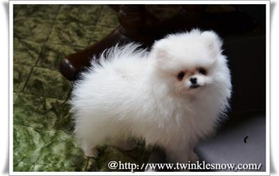 ポメラニアン ホワイト pomeranian 子犬