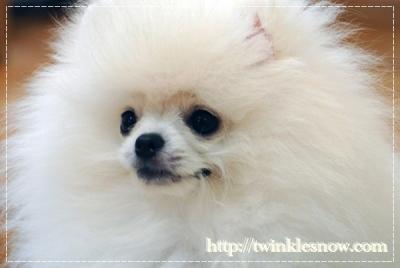 ホワイトポメラニアン white pomeranian