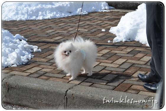 ホワイトポメラニアン TWINKLESNOW犬舎