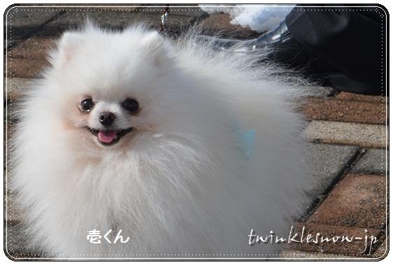 ホワイトポメラニアン TWINKLESNOW犬舎 pomeranian white