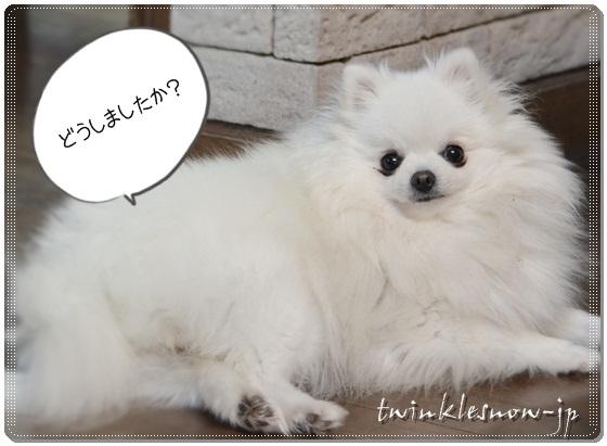 ホワイトポメラニアン POMERANIAN 苺芽(めめ)twinklwsnow犬舎