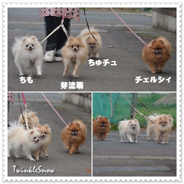 TWINKLESNOW の親犬達
