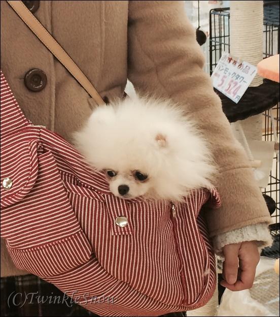 ホワイトポメラニアンの子犬 TWINKLESNOW