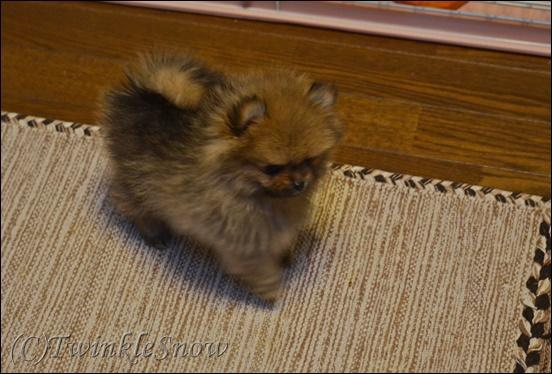 可愛いポメラニアン 子犬