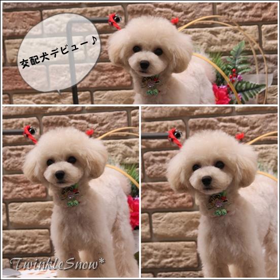 ティーカッププードル 交配犬